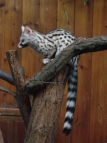 wild animals portugal gennet 1