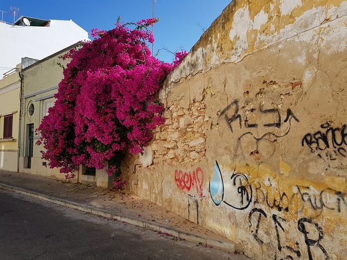 Beautiful purple flowers in Faro