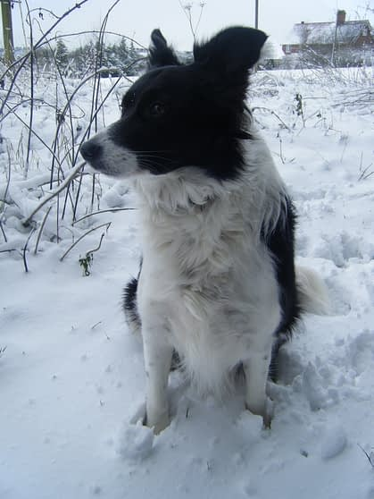 Poppy in the snow